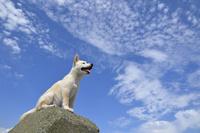 白柴犬 21003007847| 写真素材・ストックフォト・画像・イラスト素材|アマナイメージズ