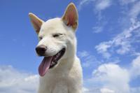 白柴犬 21003007854| 写真素材・ストックフォト・画像・イラスト素材|アマナイメージズ