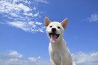 白柴犬 21003007861| 写真素材・ストックフォト・画像・イラスト素材|アマナイメージズ