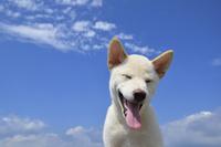 白柴犬 21003007862| 写真素材・ストックフォト・画像・イラスト素材|アマナイメージズ