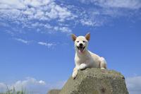 白柴犬 21003007865| 写真素材・ストックフォト・画像・イラスト素材|アマナイメージズ