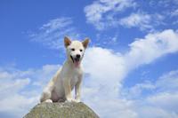 白柴犬 21003007868| 写真素材・ストックフォト・画像・イラスト素材|アマナイメージズ