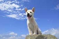 白柴犬 21003007869| 写真素材・ストックフォト・画像・イラスト素材|アマナイメージズ