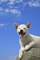 白柴犬 21003007870| 写真素材・ストックフォト・画像・イラスト素材|アマナイメージズ