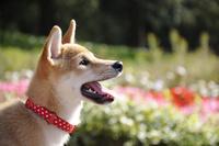 柴犬 21003007890| 写真素材・ストックフォト・画像・イラスト素材|アマナイメージズ