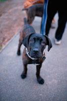 散歩をする黒いラブラドールレトリーバー 21005000182| 写真素材・ストックフォト・画像・イラスト素材|アマナイメージズ