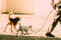 犬を2匹散歩している男性 21005000185| 写真素材・ストックフォト・画像・イラスト素材|アマナイメージズ