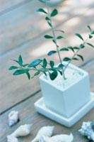 オリーブの白い鉢植えと貝殻