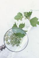 虫眼鏡で見る葉と実 21007000485| 写真素材・ストックフォト・画像・イラスト素材|アマナイメージズ