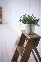 はしごの上にシロツメクサの鉢植え