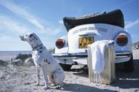 砂浜に白い車とスーツケース ダルメシアン