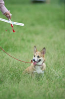 模型飛行機と犬(コーギー)