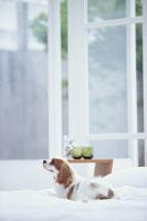 ベッドの上に寝転ぶ犬(キャバリア)