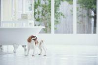 バスタブのそばに立つ犬(キャバリア)