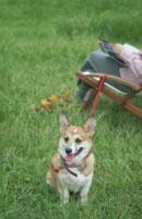 公園のイスに座る女性と犬(コーギー)