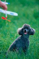 公園のプードルと模型飛行機