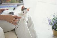 膝の上で横たわる猫 21009000055| 写真素材・ストックフォト・画像・イラスト素材|アマナイメージズ