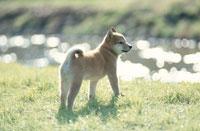 川沿いの柴犬 21009000196| 写真素材・ストックフォト・画像・イラスト素材|アマナイメージズ