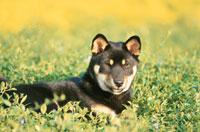 草の上に座る柴犬