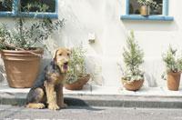 散歩する犬(ワイアーフォックステリア) 21014000115| 写真素材・ストックフォト・画像・イラスト素材|アマナイメージズ