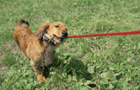 赤いリードを噛む犬