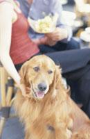 カフェのカップルと犬(ゴールデンレトリーバー)