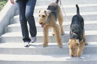 階段を降りる犬(エアデールテリア2匹) 21014000217| 写真素材・ストックフォト・画像・イラスト素材|アマナイメージズ