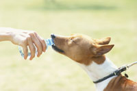 ペットボトルから水を飲む犬(バセンジー) 21014000218| 写真素材・ストックフォト・画像・イラスト素材|アマナイメージズ