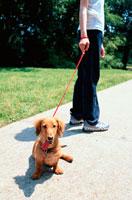 散歩中のミニチュアダックスフンドと女性 21014001107| 写真素材・ストックフォト・画像・イラスト素材|アマナイメージズ