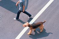 道を歩く女性とワイアーフォックステリア 21014001112| 写真素材・ストックフォト・画像・イラスト素材|アマナイメージズ