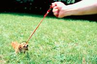草むらで赤いリードを噛む犬