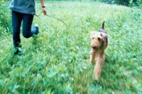 草むらを走るワイアーフォックステリアと女性 21014001181| 写真素材・ストックフォト・画像・イラスト素材|アマナイメージズ