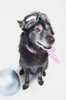 頭にゴーグルと首にスカーフを巻いた犬