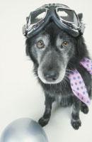 ゴーグルとスカーフをつけた黒い犬
