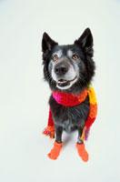 マフラーを巻いてソックスを履いた黒い犬 21017001506| 写真素材・ストックフォト・画像・イラスト素材|アマナイメージズ