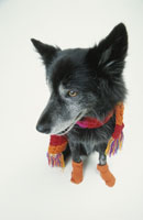 マフラーを巻いてソックスを履いた黒い犬 21017001507| 写真素材・ストックフォト・画像・イラスト素材|アマナイメージズ