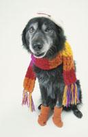 マフラーを巻いてソックスを履いた黒い犬 21017001508| 写真素材・ストックフォト・画像・イラスト素材|アマナイメージズ