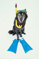 シュノーケルと足ヒレをつけた黒い犬