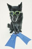 ゴーグルとフィンをつけた犬(雑種) 21017001512| 写真素材・ストックフォト・画像・イラスト素材|アマナイメージズ
