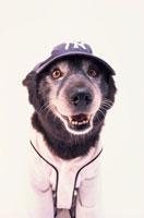 野球帽を被リユニフォームを着た黒い犬