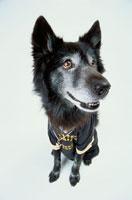 サッカーユニフォームを着た黒い犬 21017001523| 写真素材・ストックフォト・画像・イラスト素材|アマナイメージズ