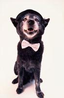 蝶ネクタイと黒い帽子を被った黒い犬