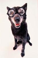 眼鏡をかけた黒い犬