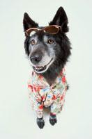 サングラスにアロハシャツの黒い犬