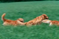 草原を走る3匹のゴールデンレトリーバー