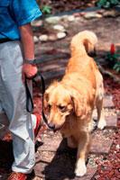 男性と散歩するゴールデンレトリバー 21022001626| 写真素材・ストックフォト・画像・イラスト素材|アマナイメージズ