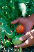 トマトに触れる手