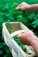 ハーブを摘みカゴに入れる手 21022002351| 写真素材・ストックフォト・画像・イラスト素材|アマナイメージズ