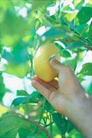 木に実ったレモンをとる手