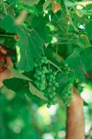 木に実ったブドウ摘む男性